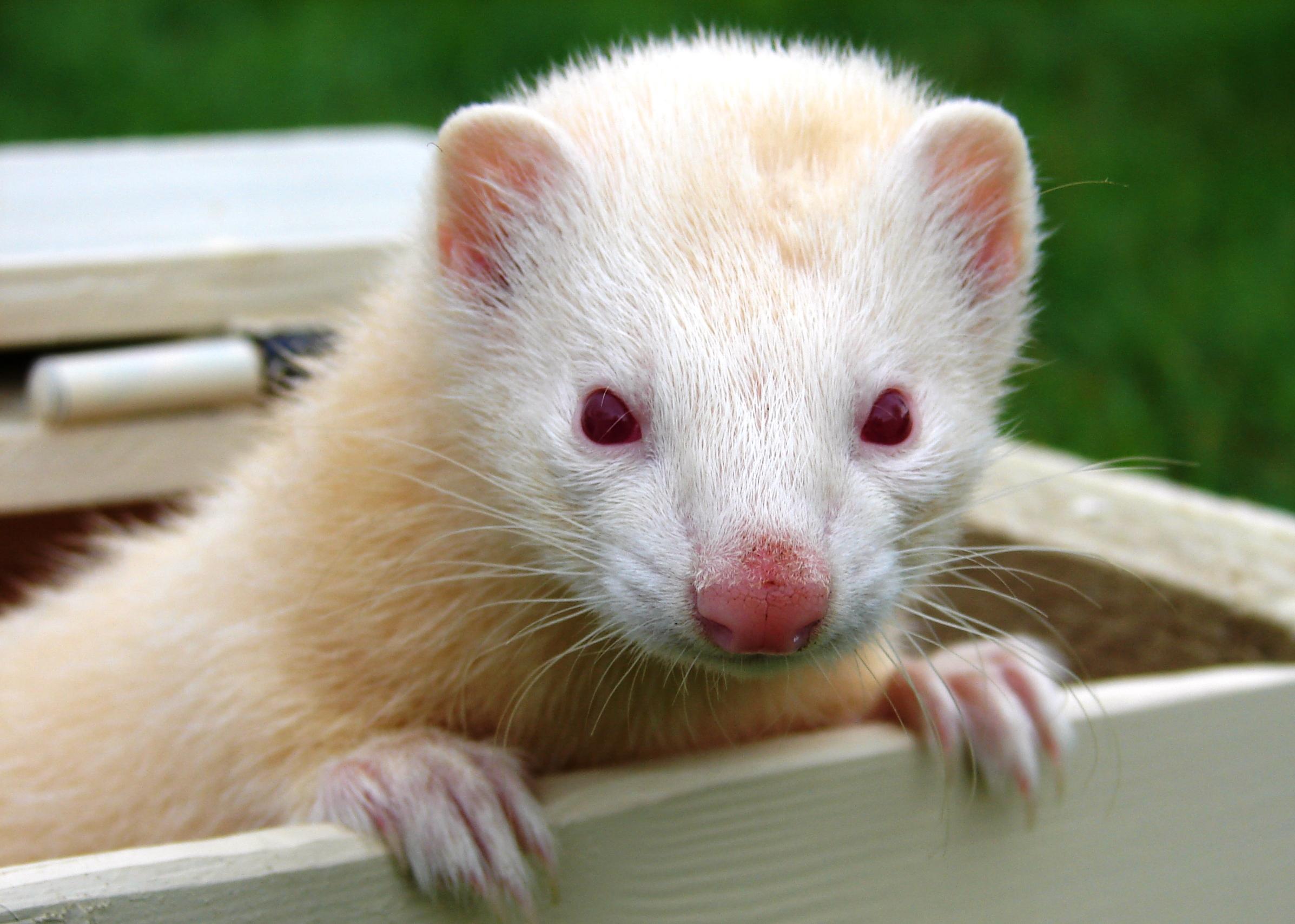 Suzy\'s Animals of the World Blog: THE FERRETS