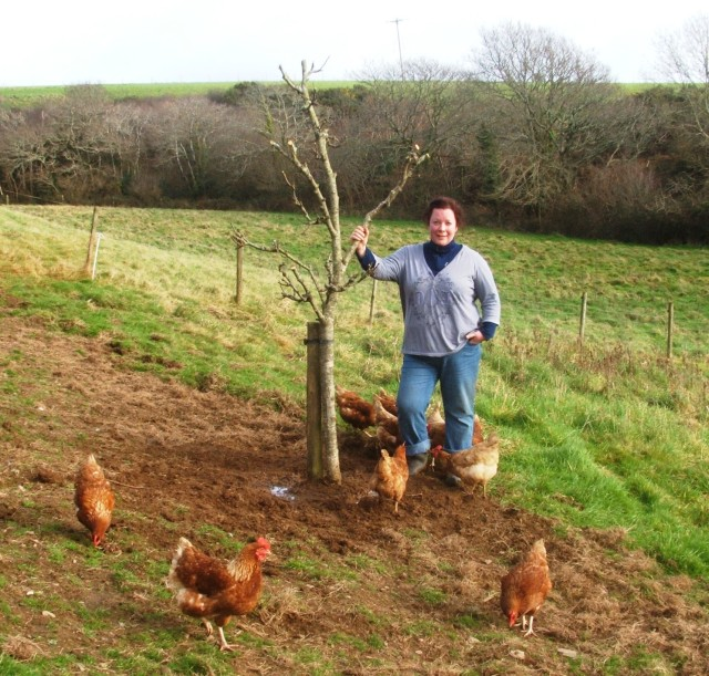 Apple tree planting in chicken forage plan