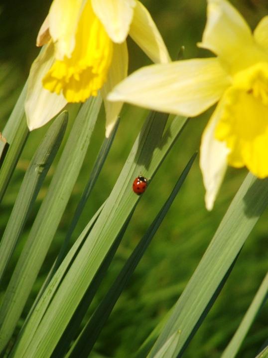 Ladybird & Daffodil