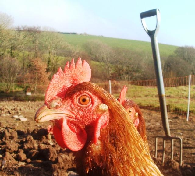 Posing chicken!